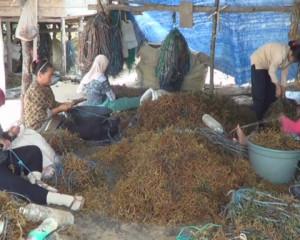 Petani Rumput Laut di Kelurahan Nipah-nipah (L Gustian – Hello Borneo)