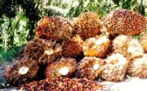 Petani sawit mengeluhkan oknum perusahaan pengolahan sawit patok harga tak sesuai ketentuan pemerintah (Cak Ris - Hello Borneo)