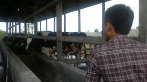 Hewan ternak sapi di Kabupaten Penajam Paser Utara (Bagus Purwa - Hello Borneo)