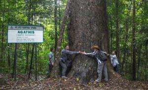 Pohon Agathis terbesar yang ada di Kabupaten Penajam Paser Utara