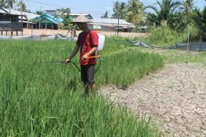 Bertahan. Kekeringan yang melandah petani padi Paser, mulai membuat beberapa Petani mengalami gagal Panen. Seperti Iwan Salah satu Petani yang masih berusaha untuk mempertahankan tanaman padinya di tengah kemarau panjang. (Ajang Araya - Hello Borneo)