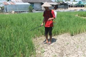 KENA DAMPAK. Dampak dari pembukaan lahan, belum memasuki pucak kemarau petani alami kekeringan. (Ajang Araya - Hello Borneo)