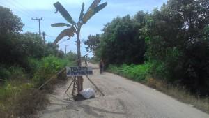 MENGHALANGI. Beberapa pohon pisang yang di pasang warga, rantau panjang. Sebagai wujud protes terhadap pemerintah daerah. (Ajang Araya - Hello Borneo)