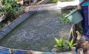 Salah satu kolam terpal  budidaya ikan lele dan patin milik Kelompok Tani Tirta Makmur Desa Bukit Raya Kecamatan Sepaku (Subur Priono - Humas Setkab Penajam Paser Utara)
