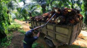 Petani kelapa sawit di Kabupaten Paser sedang memuat panennya. (Rapal JKN - Hello Borneo)