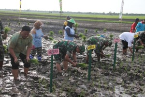 Gerakan Tanam Padi Bersama TNI mendukung upaya khusus untuk mencapai swasembada padi di Desa Gunung Mulia, Kecamatan Babulu, Kabupten Penajam Paser Utara (Iskandar - Humas Setkab Penajam Paser Utara)