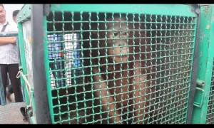 6 Orang Utan berhasil diselamatkan. (MR Saputra - Hello Borneo)