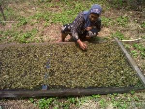 """Warga Kelurahan Kampung Baru,Kecamatan Penajam berhasil menyulap buah """"mangrove"""" atau bakau menjadi produk makanan. (AH Ari B - Hello Borneo)"""