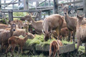 Rusa Sambar  yang dikembangbiakan di penangkaran rusa di Kabupaten Penajam Paser Utara (Subur Priono - Humas Setkab Penajam Paser Utara)