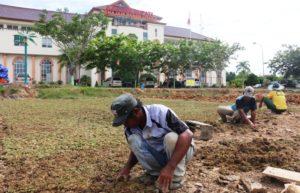 Sejumlah pekerja tengah melakukan penanaman rumput gajah mini di halaman Kantor Bupati Penajam Paser Utara di kilometer 9 Nipah-Nipah (Subur Priono - Humas Setkab Penajam Paser Utara)