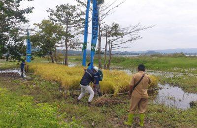 Demplot padi sawah apung oleh PT Poso Energy seluas 0,5 are (50 meter persegi) di Desa Buyumpondoli, Kabupaten Poso, Sulteng. (Foto: VOA/Yoanes Litha)