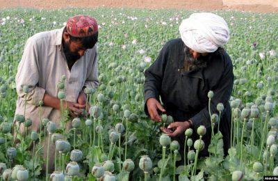 Petani Afghanistan bekerja di ladang opium di distrik Grishk di Provinsi Helmand. (Foto: REUTERS/Abdul Quddus)